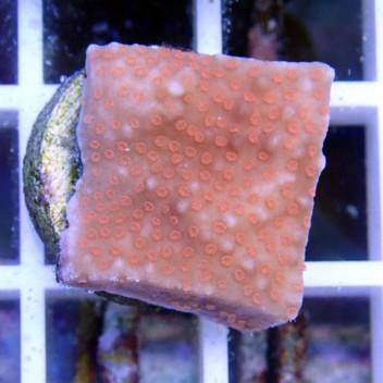 Montipora sp polype rouge monti531
