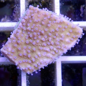Montipora sp polype rouge monti536
