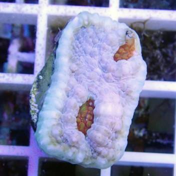 Echinophyllia echino24