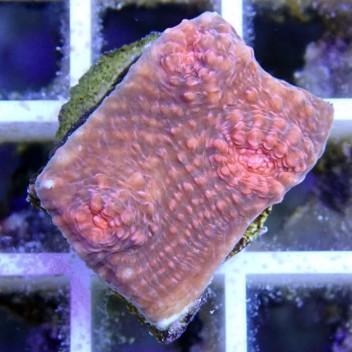 Echinophyllia echino25