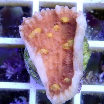 Echinophyllia echino26