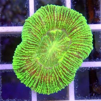 Trachyphyllia sp trachy57
