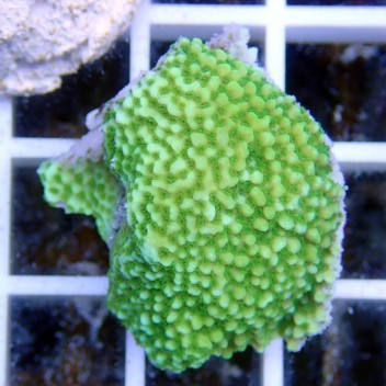 Montipora sp vert polype blanc monti538