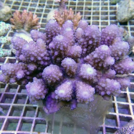 Acropora humilis L acro7744