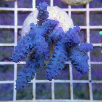 Acropora tenuis bleu acro7854