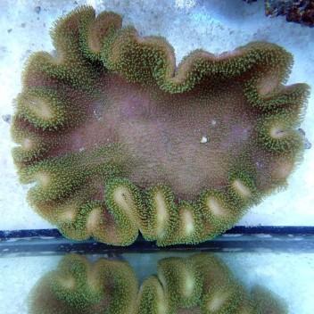sarcophyton polype vert XL sarco86