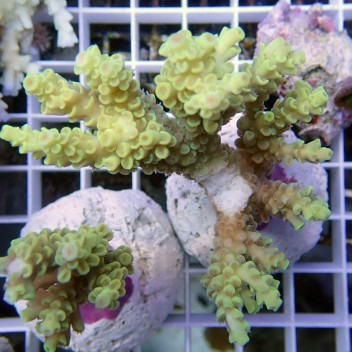 Acropora anthorcercis acro7860