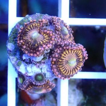 Zoanthus Tuttifruiti Z706