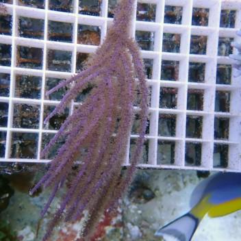Gorgone symbiotique Muriceopsis XL gorgone72