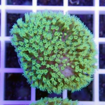 sarcophyton polype vert fluo sarco90