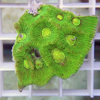 Goniastrea vert fluo australie gonia18