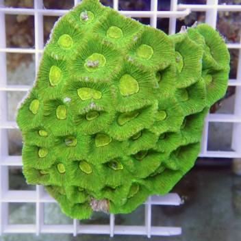 Goniastrea vert fluo australie gonia19