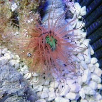 Cérianthe bicolor ceri11