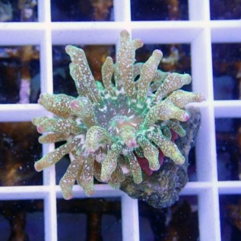 Entacmea quadricolor verte entac46