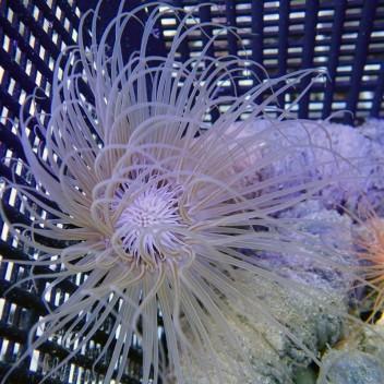 Cérianthe bicolor ceri14