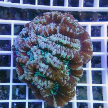 Australophyllia wilsoni ultra