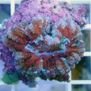 Scolymia croc island scoly59