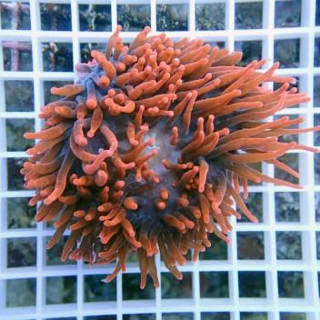 Entacmea quadricolor rouge S entac48