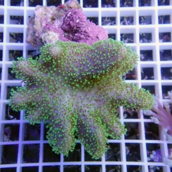 sarcophyton polype vert fluo sarco92