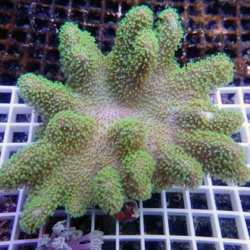 sarcophyton polype vert fluo sarco94