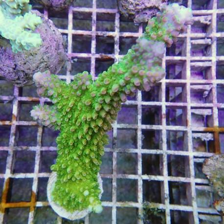 Acropora abrotanoides acro8033