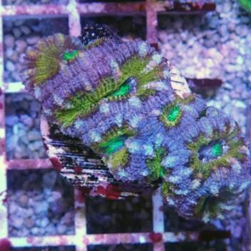Acanthastrea lordhowensis AL811