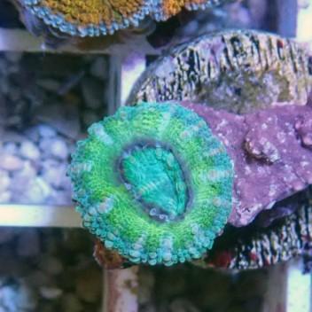 Acanthastrea lordhowensis AL821
