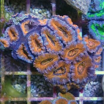 Acanthastrea lordhowensis AL824