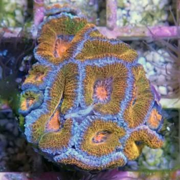 Acanthastrea lordhowensis AL827