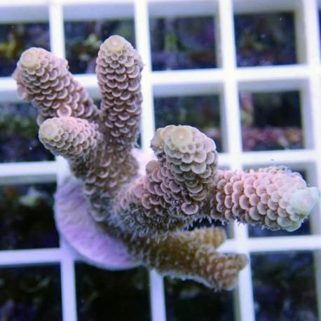 Acropora millepora acro8213