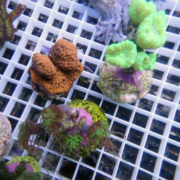 VPFab27 lot duo d'anemone