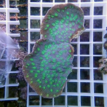Echinopora lamellosa gris vert EL23