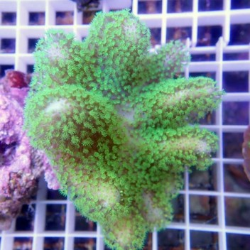 sarcophyton polype vert fluo XL sarco95