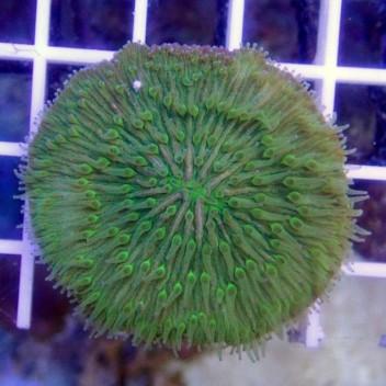 Fungia sp Fungia63