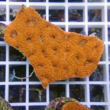 Acanthastrea echinata orange fluo echinata41