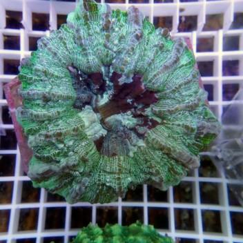 Acanthophyllia deshayesiana L acantho27
