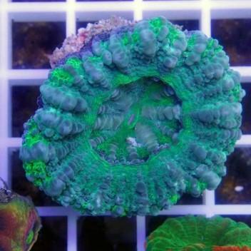 Scolymia croc island scoly65
