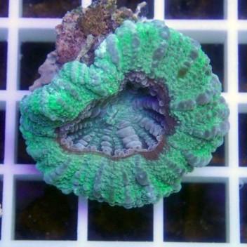 Scolymia croc island scoly66