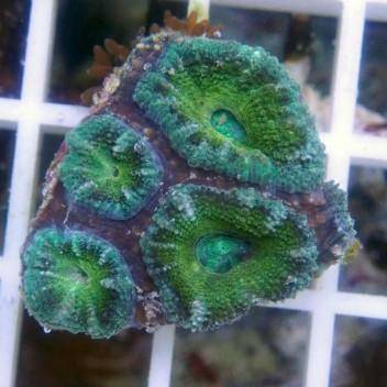 Acanthastrea lordhowensis AL850