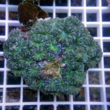 Acanthastrea lordhowensis AL851