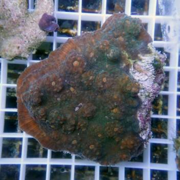 Echinophyllia echino23