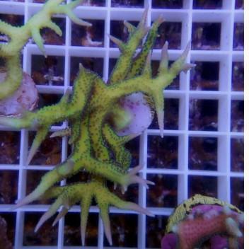 Seriatopora hystrix SH214