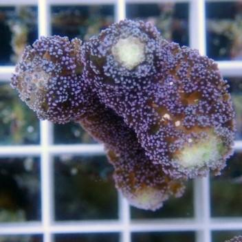 Stylophora milka stylo258