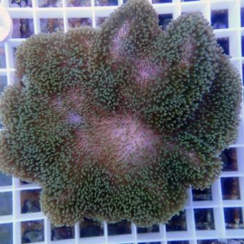 sarcophyton polype vert fluo sarco97
