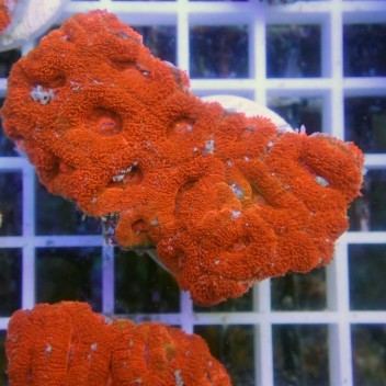 Acanthastrea lordhowensis Orange fluo AL865