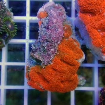 Acanthastrea lordhowensis Orange fluo AL868