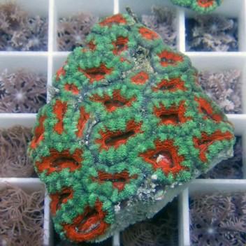 Acanthastrea lordhowensis AL875
