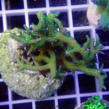 Seriatopora hystrix SH217