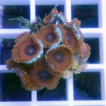 Zoanthus caraibes bleu Z766
