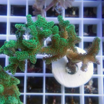 Seriatopora calendrium SC132